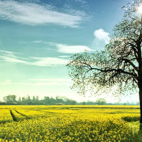 油菜花与树